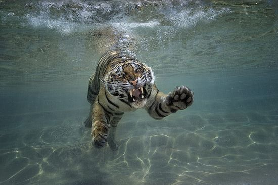 San Diego Zoo Safari Park's new Tiger Trails exhibit, opening summer 2014, will feature an underwater viewing area