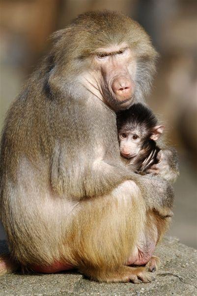 Sweet Nurturing Baboon Mother & Her Baby    Found here: Animal Tracks (msnbc Photoblog)