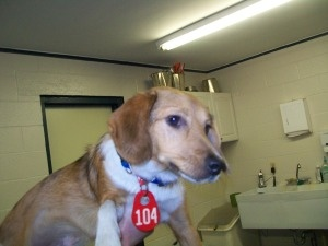 MICHIGAN ~ ID 104 ~ URG'T ~ pinned 11/10 ~ LISTED Sheltie mix male ~ LOOKS LIKE A BEAGLE BLEND TO ME is an #adoptable Shetland Sheepdog Sheltie Dog in Ithaca, MI.  He is very cute and very friendly. He is looking for a new hom...Gratiot County Animal Control ~ has a contract with R & R a Class B animal dealer expiring 2013. R & R sells animals to research www.facebook.com/...