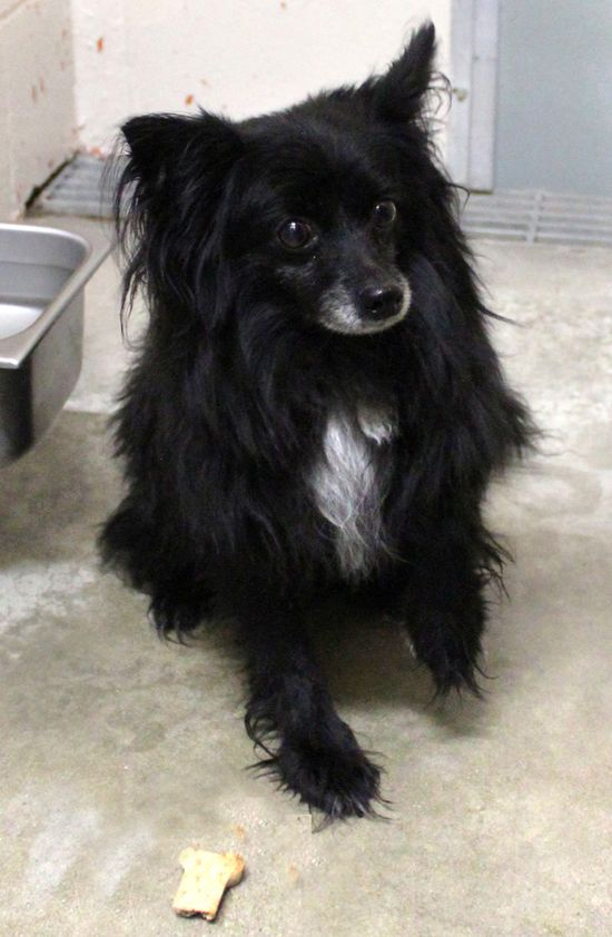 #27644 PEPPE is terrified!  We didn't try to pick her up because she was so stressed.  She is a 4 year old, 8 pound, black Pom mix female who is already spayed and current on her vaccinations so it wouldn't cost very much to adopt her.Saint Joseph Animal Shelter 701 Lower Lake Road Saint Joseph, MO 64504 (816) 271-4877