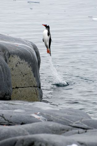 .penguin out!