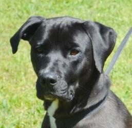 #ARKANSAS ~ Terra is a 4y/o #adoptable Black Labrador Retriever mix cog in #Searcy - She seems very attentive & loves her outside time. To #adopt contact HUMANE SOCIETY of SEARCY   112 Johnston Rd   #Searcy AR 72145   mailto:hss@cablel...   Ph 501-268-3535