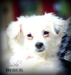 Lola is an adoptable Chihuahua Dog in Cheyenne, WY. Puppy Love! Lola is a 6 month old Chihuahua mix that is eager for some love and attention. She is crate trained, house trained and knows some basic ...