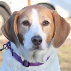 #ILLINOIS ~ Alabana is an #adoptable #Coonhound #Dog in #Springfield. She's waiting for you to meet & #adopt her at Animal Protective League, Springfield ph  217-544-PETS