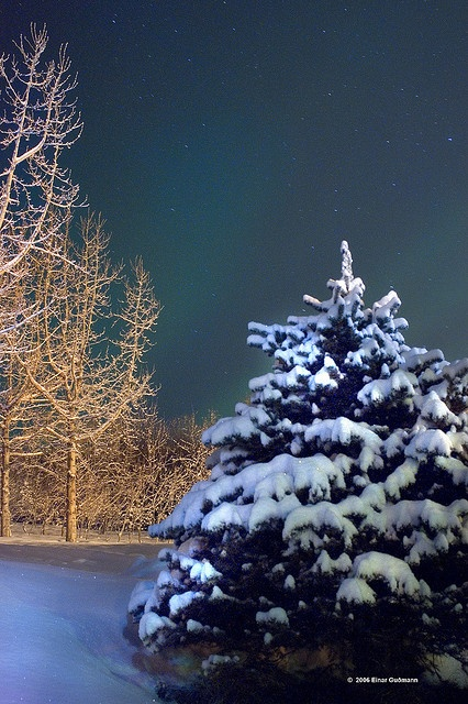 Real christmas tree, White snow on a Icelandic tree and Northern lights