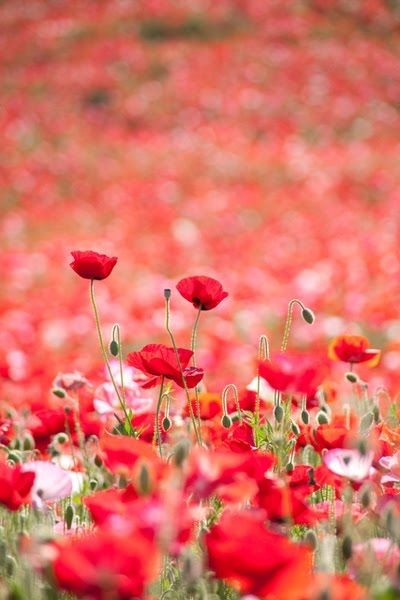 I love poppies