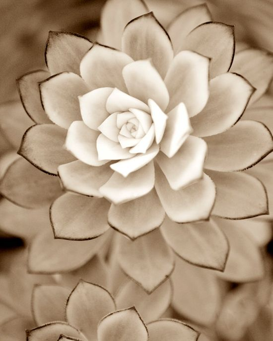 "Ivory  ""Desert Rose"" - BEAUTIFUL . . ."