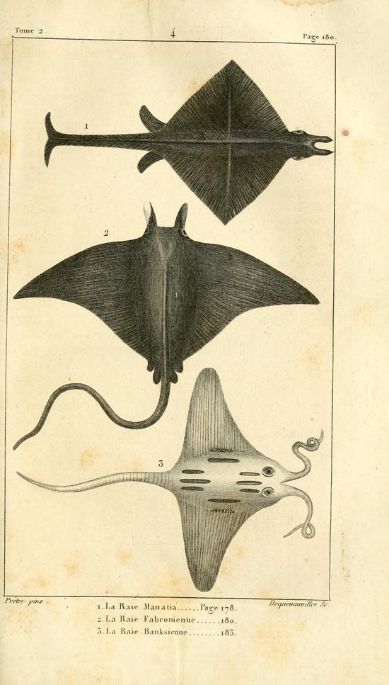 Rays. Histoire naturelle des quadrupèdes-ovipares t.2 Paris :Rapet,1819. Biodiversitylibrary. Biodivlibrary. BHL. Biodiversity Heritage Library