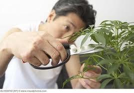bonsai art in process - Google Search