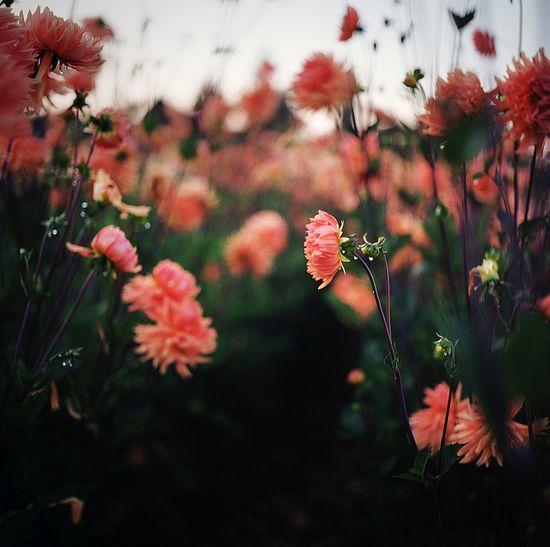 dahlias by manyfires, via Flickr