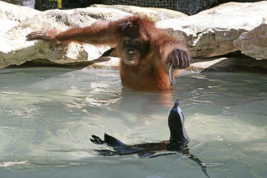 Yes, a orangutan is feeding a penguin.