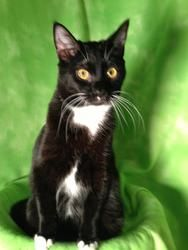 Sheldon is an adoptable Domestic Short Hair Cat in Greensboro, NC. ?We our waving our adoption fees and asking for a reasonable donation.?Sheldon is neutered,microchiped with 24hrpetwatch, combo teste...