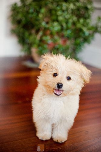 Poo-pom!! Poodle/pomeranian mix.  #dogs #puppies #cute ----- @Omega Hedgepeth Dog  ----- www.omegadog.com
