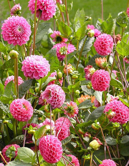 Dahlia Garden - Love these perrenials.  Need to plant some of these this year...come in so many colors too!