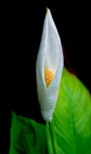 Peace Palm Flower