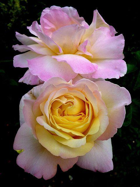 Rosa 'Madame Meillant'