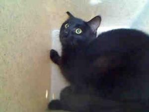 A4541432 **URGENT* Baldwin Park Animal Shelter is an adoptable Domestic Short Hair Cat in Baldwin Park, CA. **WE NEED VOLUNTEERS TO POST & REMOVE PETS ON PETFINDER. IF YOU CAN COMMIT TO THE CAUSE OF H...