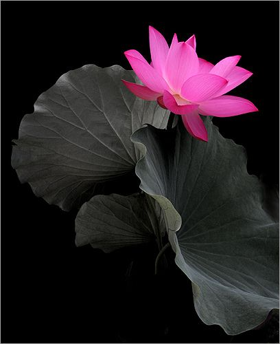 Pink lotus flower. From Bahman Farzad's photostream.
