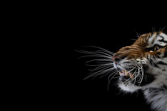 Studio Portraits of Wild Animals by Brad Wilson