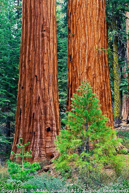 Giant Sequoia trees, Yosemite National Park, CA