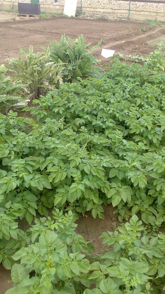 planta-de-las-patatas