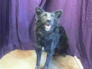 A441531- URGENT (SAN BERNARDINO SHELTER): Australian Shepherd, Dog; San Bernardino, CA