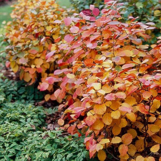 Fothergilla ~  A wonderful but underused shade-loving shrub, fothergilla offers blue-green foliage in spring and summer. Its leaves reveal warm shades of gold and orange in fall. And fothergilla has honey-scented springtime flowers to boot.