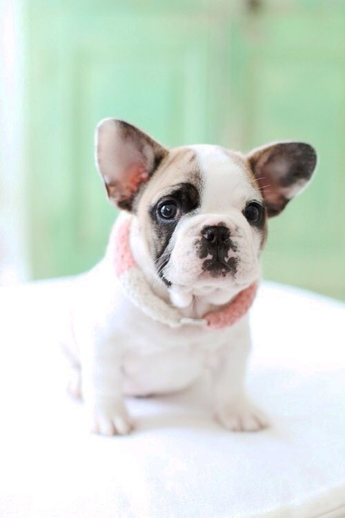 French bulldog, preciousness