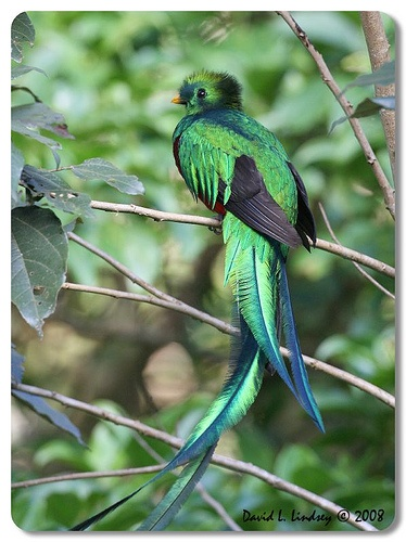 Resplendent Quetzal by David Lindsey by D.L. Lindsey, via Flickr