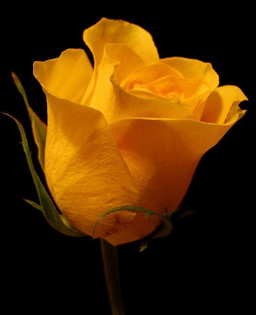 ~~ Yellow Rose ~~
