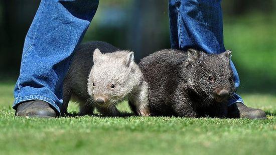 Cute Baby Wombats