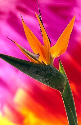 Flowers...Flowers...Flowers...Bird of Paradise