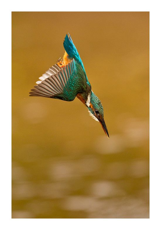 kingfisher by Jules Cox
