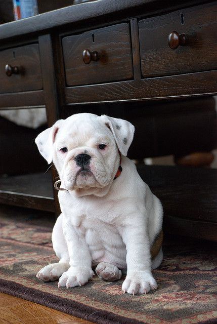 Love the serious watch dog expression on such a young (endlessly cute!) face. #bulldog #puppy #dog #cute #pets #animals #UK #British
