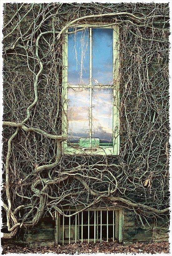 Deciduous Ivy Vines