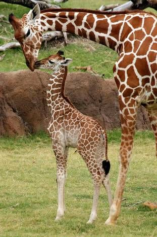 For Mothers Day, see mom and baby animals at the Dallas Zoo   ...........click here to find out more     googydog.com