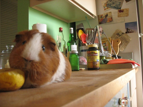 Guinea Pig Persephone -- Just hangin' out on the kitchen counter enjoying an apple.