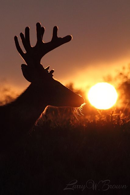 Sun-kissed whitetail buck by Larry W Brown