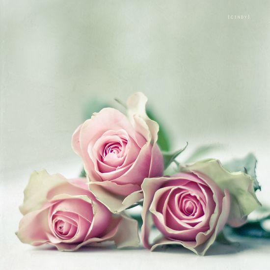 pink roses . . .