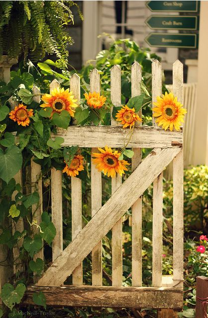 Love the gate & sunflowers.