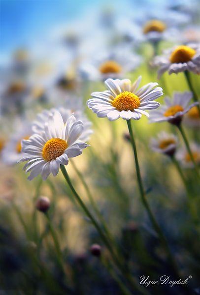 Fav flower, the daisy :-)