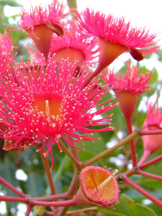 Eucalyptus flower/ Corymbia ficifolia or the red flowering gum also known as Albany red flowering gum (previously known as Eucalyptus ficifolia) is one of the most commonly planted ornamental trees in the broader eucalyptus family.