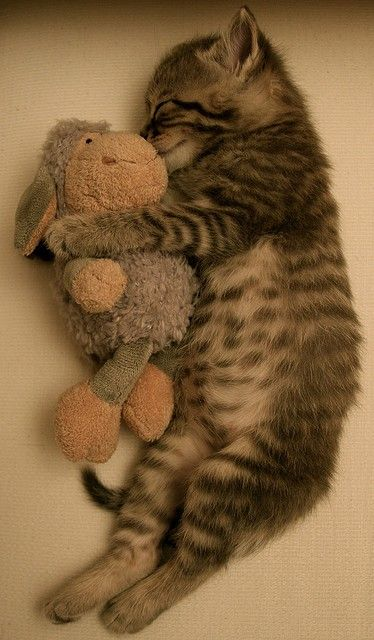 Sleepy little kitten cuddled up with his favorite toy!