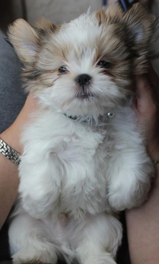 Shih Tzu puppy. Reminds me of Sophie (1/2 shih tzu 1/2 lhasa apso) when she was little. So cute!