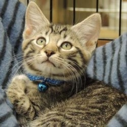 Davis is an adoptable Domestic Short Hair Cat in Garner, NC. DOB: 3/2/2012 Davis is equal parts sweet kitten hugs and cute kitten antics! He loved to frolic with his brother, Terrence, but now that Te...