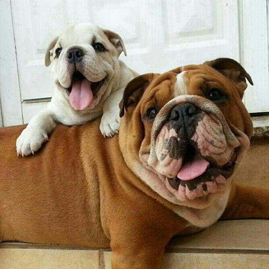 Cute Bulldog Family