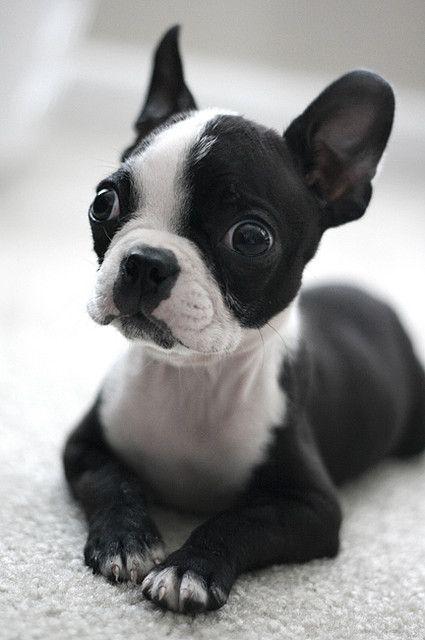 What was that? (Boston Terrier puppy)