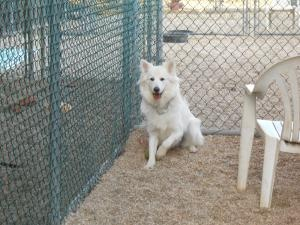 Coco-Courtesy Post is an #adoptable Samoyed Dog in #Matawan, #NEWJERSEY. Coco is a gorgeous, sweet Samoyed mix who is approx. 14 months old.  She was saved from being euthanized at a Jersey Shore shelter.  She ...