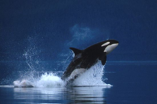 Killer Whale (Orca)