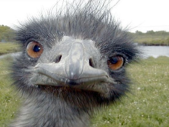 emu emo wild animal picture and #funny video #funny kids #funny free apps #funny cats 1